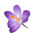 fliegende Safranblüte
