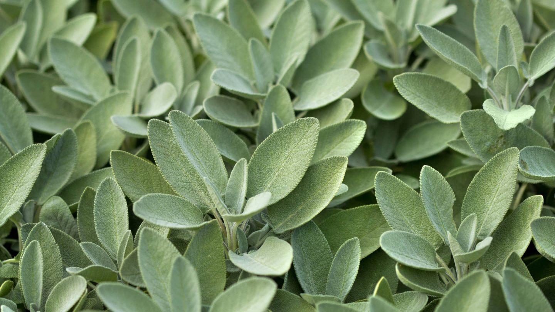 Salbeipflanzen
