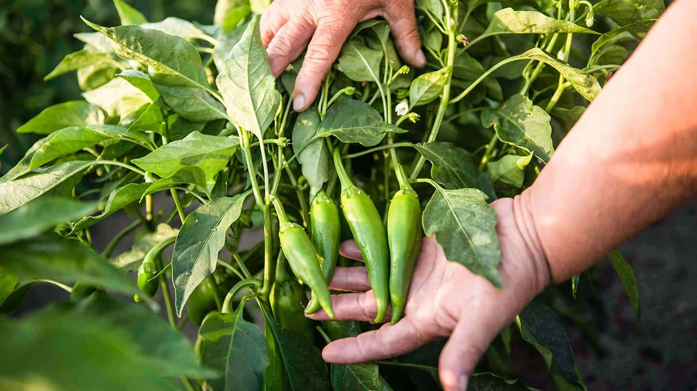 Ernte einer grünen Paprikapflanze