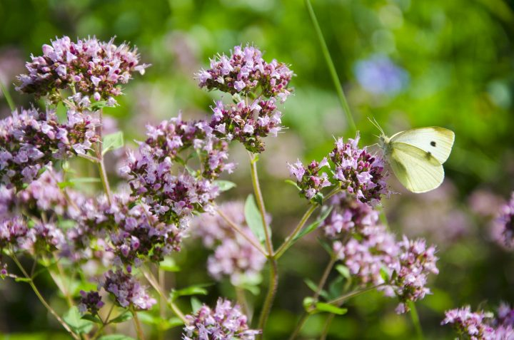 Wild Marjoram Blossoms In Garden And Butterfly