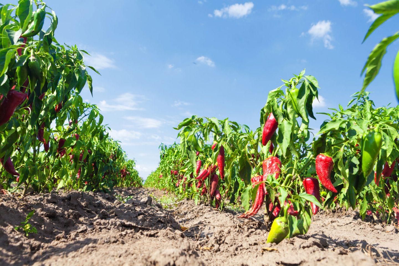 Nachhaltigkeit Paprika Feld