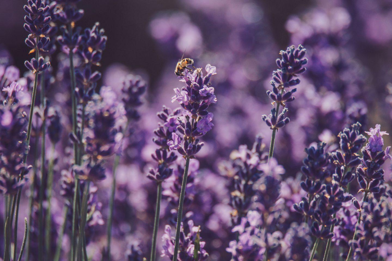 eine Biene bei einer Lavendelpflanze in einem Lavendelfeld