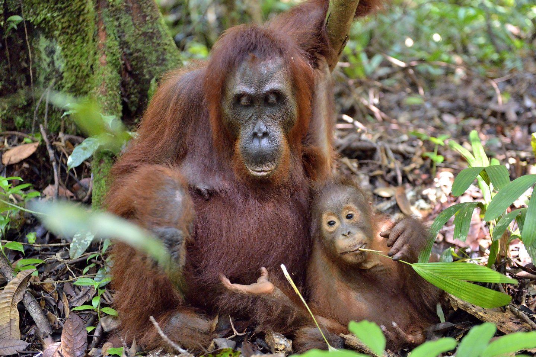 Orang Utan Mutter mit Nachwuchs