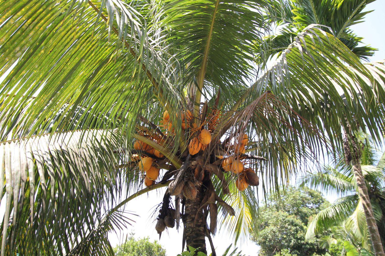 Palme Mit Fruechten