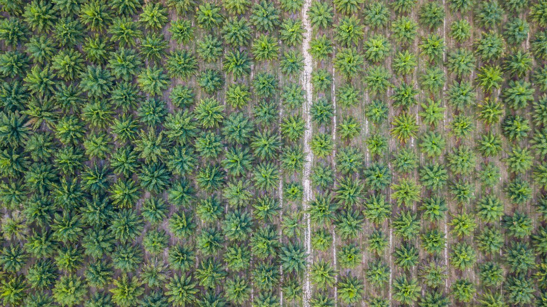 Palmoelplantage aus der Vogelperspektive