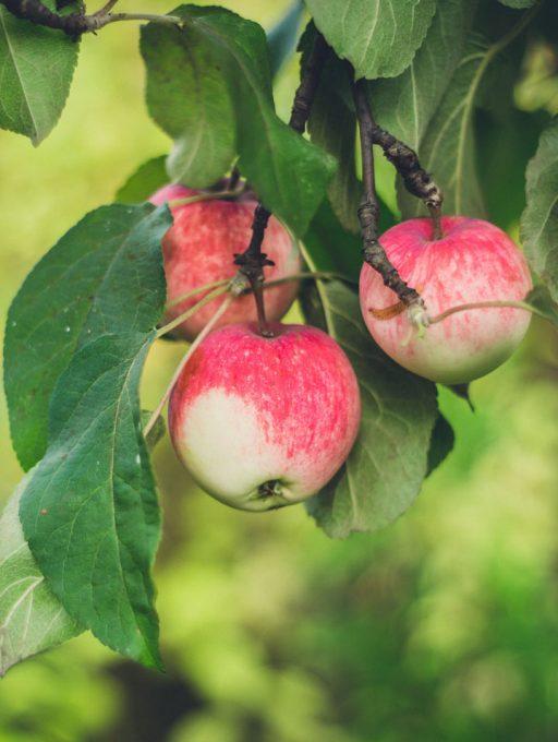 Zweig eines Apfelbaums mit 3 Äpfeln