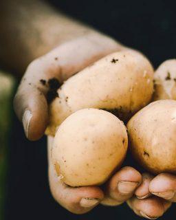 2 Frauenhände halten einige, noch erdige Kartoffeln