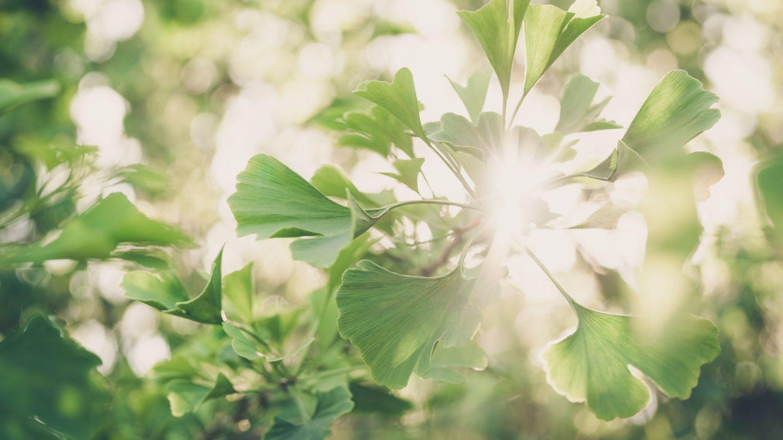 Blätter eines Ginkobaums, die von der Sonne durchflutet werden