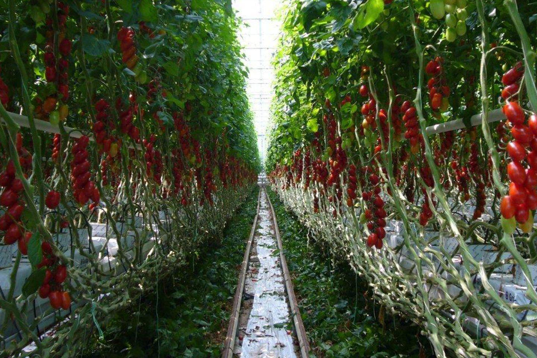 Foto: hochgewachsene Tomatenstauden in einem Gewächshaus