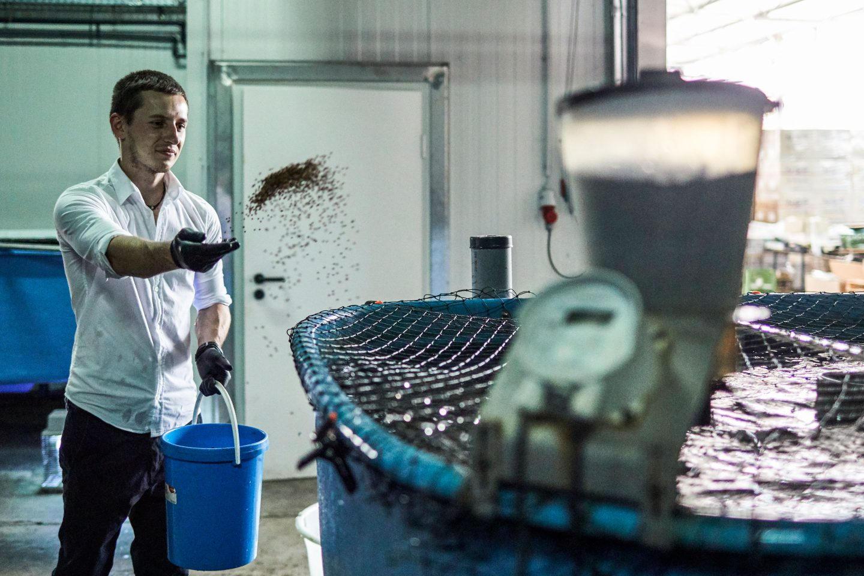 Mitarbeiter von BLÜN füttert die Welse in einem Becken, das mit einem Netz bespannt ist