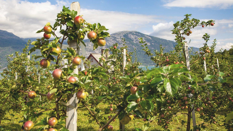 Eine kleine österreichische Apfelplantage mit Äpfeln reif für die Ernte.